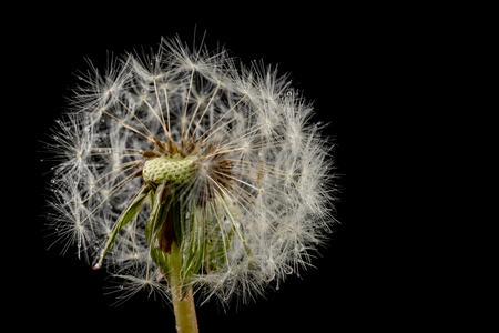 Seeds of a dandelion on a dark table. Dandelion with drops of water. Dark background. Reklamní fotografie