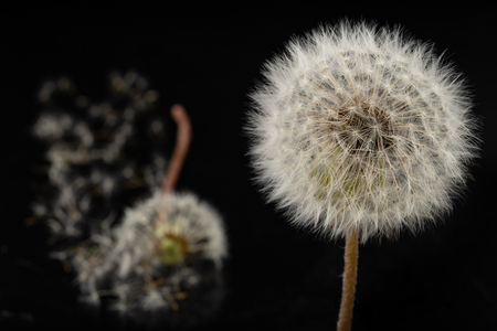 Seeds of a dandelion on a dark table. Dandelion with drops of water. Dark background. Banco de Imagens