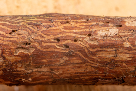 Traced bark beetles on coniferous tree branches. Places of living of forest pests. Pine tree wood.