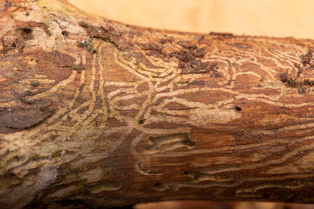 Traced bark beetles on coniferous tree branches. Places of living of forest pests. Pine tree wood. Stock Photo