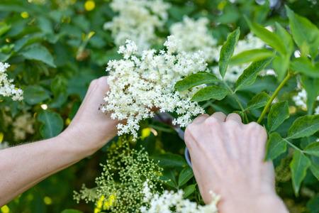 Picking white elderflower flowers. A woman breaking the flowers to prepare a medicinal syrup. Season of the spring. Reklamní fotografie