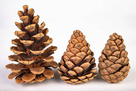 Black pine cone - Pinus nigra Arn. Cones that fell to the ground from a tree on a white table. Light background.