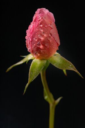A beautiful rose with drops of water on the petals. Flower from the home garden on a dark table. A dark background.