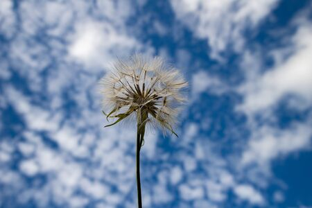 Dandelion on a background of blue sky. Cumulus clouds and dandelion. summer time.