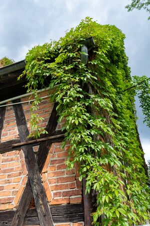 An old house in the countryside overgrown with green ivy. Walls built in the Prussian wall technology, covered with vegetation. Season of the summer. Stock Photo
