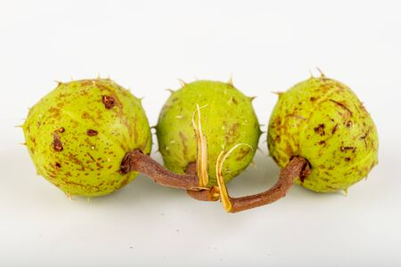 Young chestnuts on a white table. Chestnut fruit in shell. Light background. Фото со стока