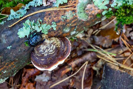 Bracket fungus growing on an old wood stump. Parasites feeding on wood in the forest. Autumn season.