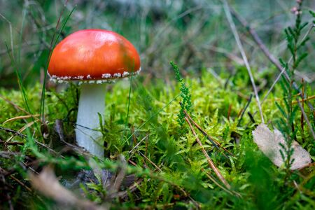 A poisonous mushroom with red hats growing in the forest. Toadstools growing in Central Europe. Autumn season.
