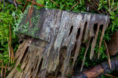 A rotten piece of wood in the forest. Wet wood with bark holes. Autumn season.