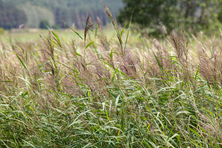 Reeds growing in the meadow. Wetlands near a small river. Summer season.