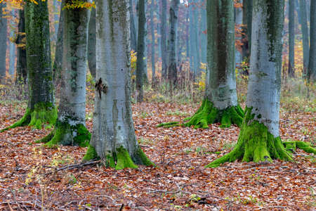 Deciduous moss covered with moss. Old trees in the high forest. Autumn season.