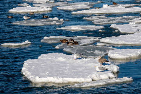 Wild birds perched on a piece of ice floating on the surface of the water Coastal sea birds. Winter season.