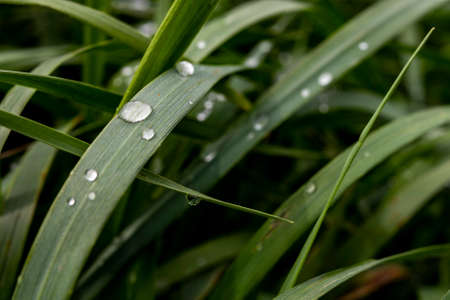 Water drops on blades of grass. Morning dew on plants. Spring season.