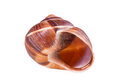 Empty vine snail shell. The shell protects the swordfish from the weather.Isolated background.