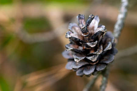 Dry pine cone. Top view of the pine cone. Spring season.