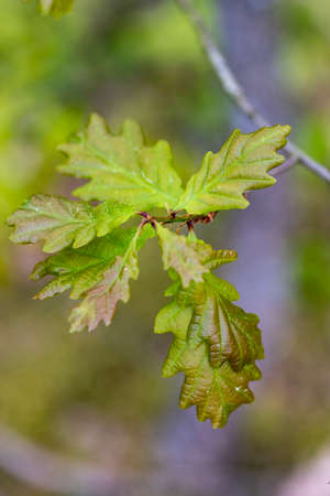 Green oak tree leaves. Fresh and green leaves in the deciduous forest. Spring season.