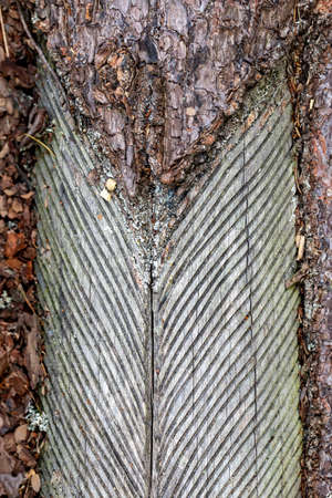 Old pine trunks damaged by resin extraction. Coniferous forest stand in Central Europe. Spring season.