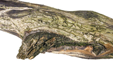 Traces of bark beetles in a piece of pine wood. Damaged pine branches as a result of bark beetle expansion. Isolated background.