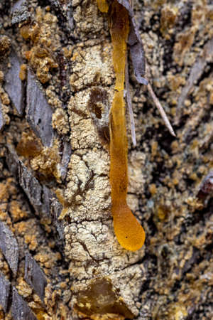 A drop of resin flowing down the pine trunks. Damaged tree surface. Spring season.