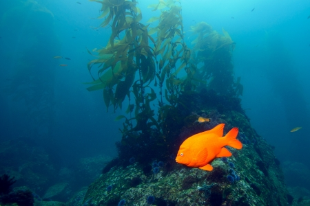 damselfish: Garibaldi damselfish in the kelp forest near Baja California Stock Photo