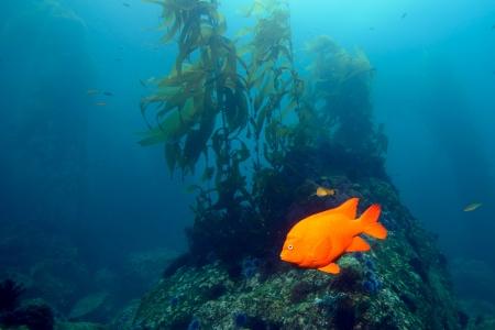 guadalupe island: Garibaldi damselfish in the kelp forest near Baja California Stock Photo