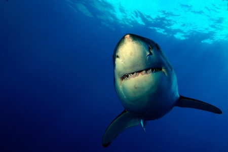 guadalupe island: Smiling Great White Shark at Guadalupe Island Stock Photo