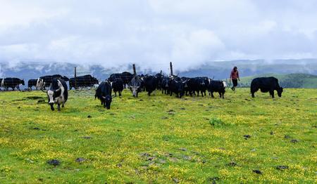 herdsman: herdsman on grassland