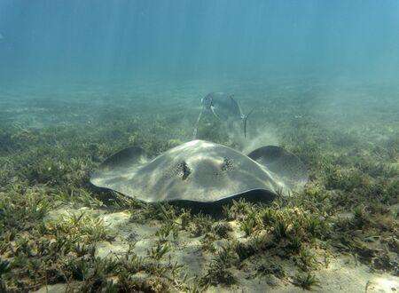 Honeycomb stingray (Himantura uarnak) at the bottom of the sea. 스톡 콘텐츠