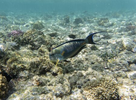 Acanthurus sohal on the coral reef.