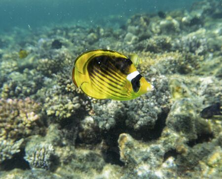 Diagonal-lined butterflyfish (Chaetodon fasciatus) on the coral reef. 스톡 콘텐츠