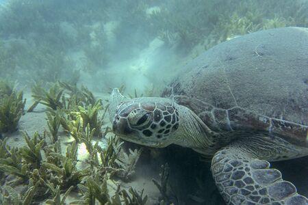 Green Sea Turtle (Chelonia mydas) lies at the bottom of the sea. 스톡 콘텐츠