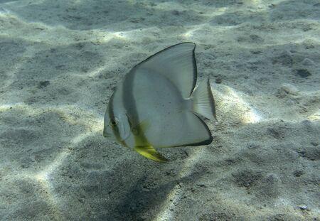 Platax orbicularis or (Orbicular batfish) is swimming underwater in sea.