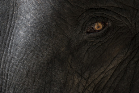 Eye of a big elephant with detail of skin texture  photo