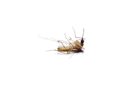 Dead mosquito lie-down on white background  photo