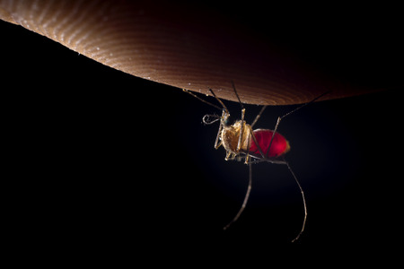 Full mosquito with red blood onthe finger ith black background  写真素材