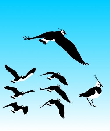 flapping: Flying Plover Sequence
