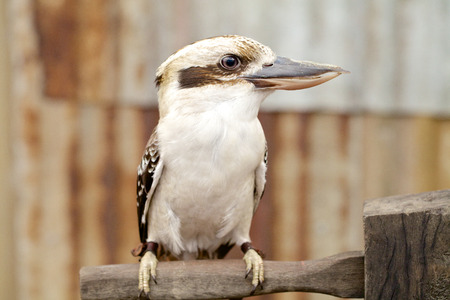 alcedinidae: Australian laughing kookaburra on branch