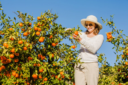 caucasian girl: Smiling caucasian girl in white tshort and hat harvesting mandarins and oranges in organic farm. Healthy lifestyle concept