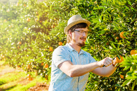 harvests: Cheerful young man harvests oranges and mandarins on citrus farm on sunny summer day