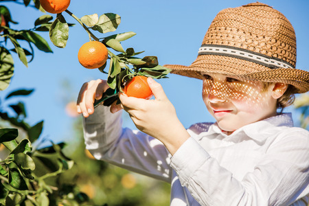 citrus family: Portrait of attractive cute young boy picking mandarins at citrus farm on sunny summer day. Family healthy, fun activity on holidays concept