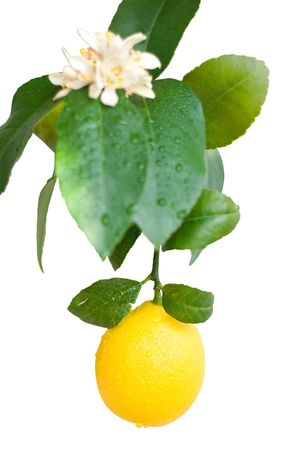 blooming lemon on a branch isolated on a white background photo