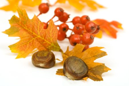 chestnuts leaves and berries decoration isolated against white background