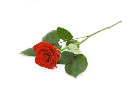 Une belle rose isolée sur fond blanc Banque d'images - 3909138
