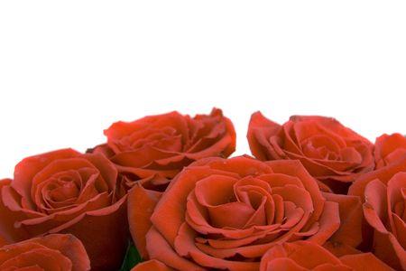 beautiful roses isolated against white background