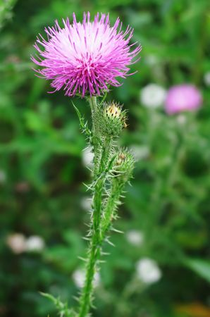 beautiful wild pink flower with thorns