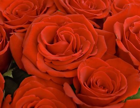 close up of a beautiful red roses