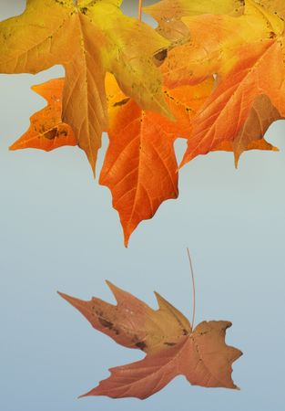 falling leaf with sky background