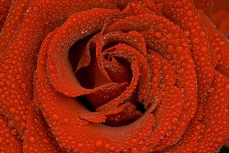 macro shot of a rose after a rainy day Stok Fotoğraf
