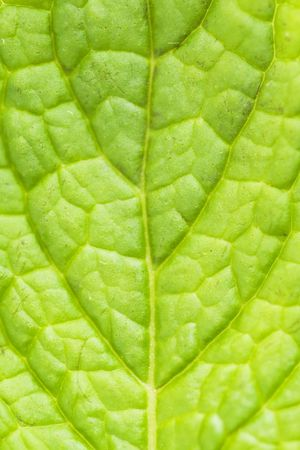 abstract of a fresh green mint leaf