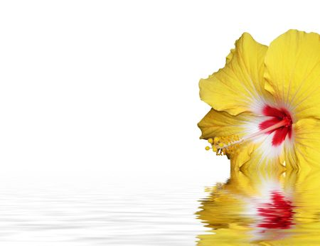 closeup of a hibiscus isolated against white background Stock Photo